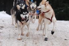 sedivackuv-long-sled-dog-race-26