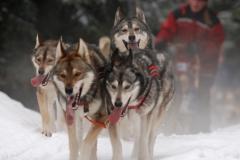 sedivackuv-long-sled-dog-race-35