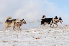 sedivackuv-long-sled-dog-race-421