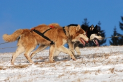 sedivackuv-long-sled-dog-race-43